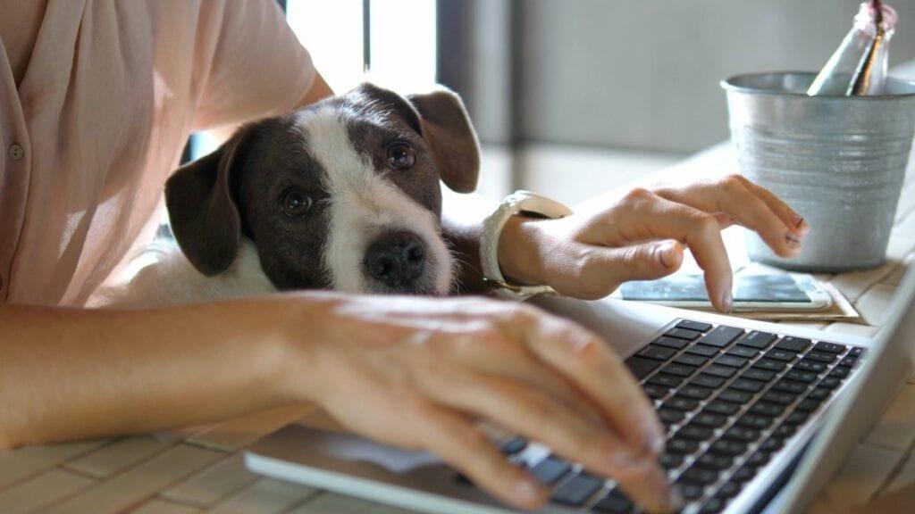 Masz już dosyć pracy zdalnej i spotkań na kamerkach - pies