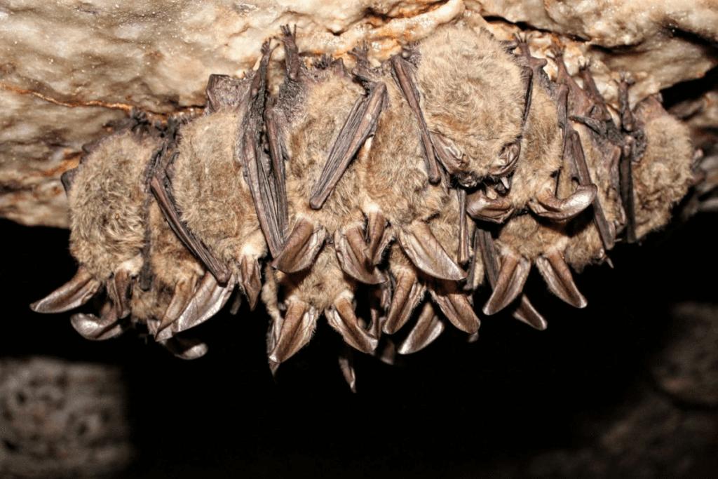 Hibernacja nietoperzy